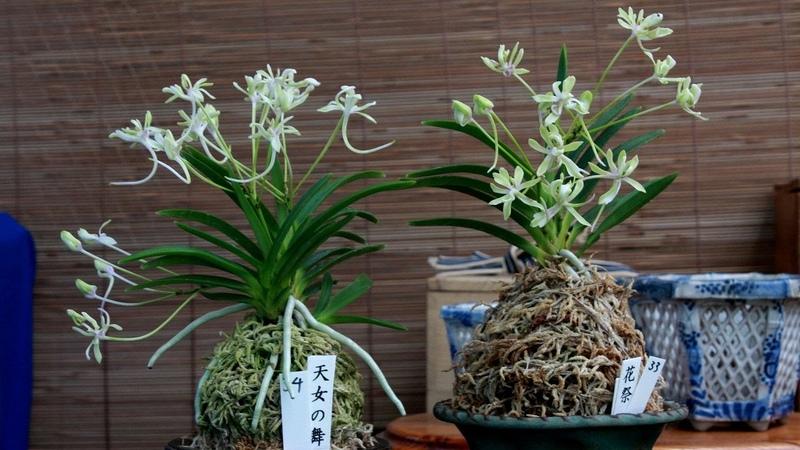 Repotting Japanese wind orchids, Neofinetia falcata