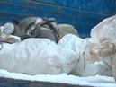 Birds cemetery in garbabevent mines/ Кладбище птиц обнаружили в шахте мусоропровода в одном из домов в Вологде