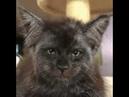 Антропоморфный кот