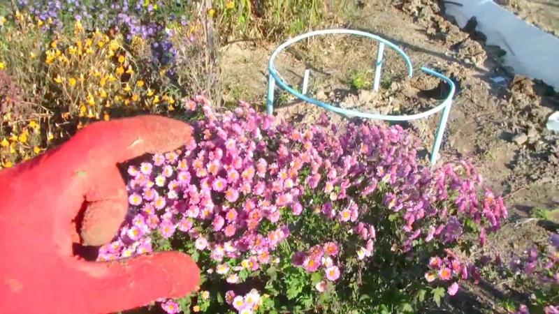 Хризантема мультифлора. Хранение маточников зимой. Варианты