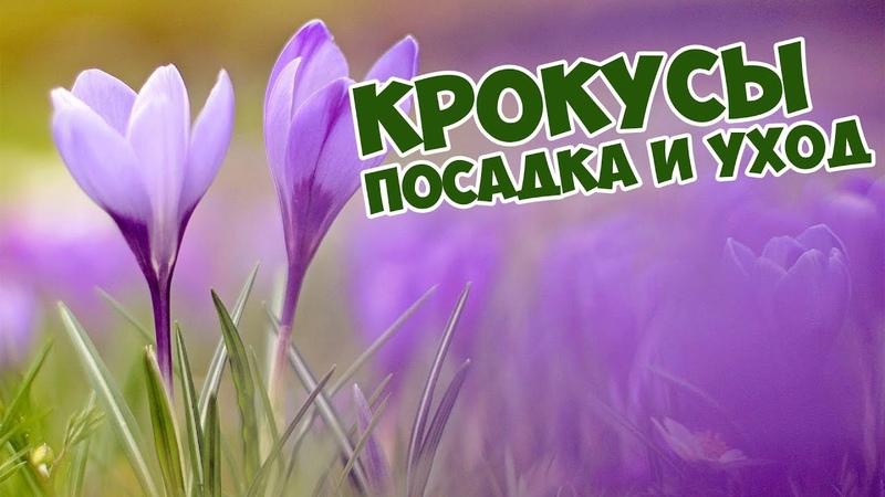 Крокусы: посадка и уход🌸 Цветы Шафран🌺 Как вырастить Крокусы?🥀
