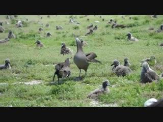 Пара черноногих альбатросов исполняет брачный танец.