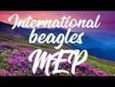 INTERNATIONAL BEAGLE MEP ~Beautiful now~