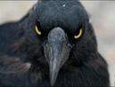ВОРОНЫ.Если бы орнитологи не сняли это на камеру,никто бы не поверил.Крылатая раса.Обманутые наукой
