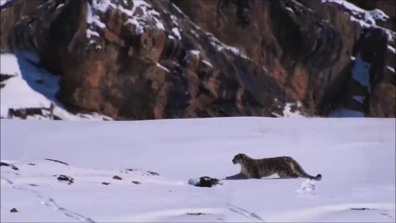 Экстремальная охота снежного гепарда в горах