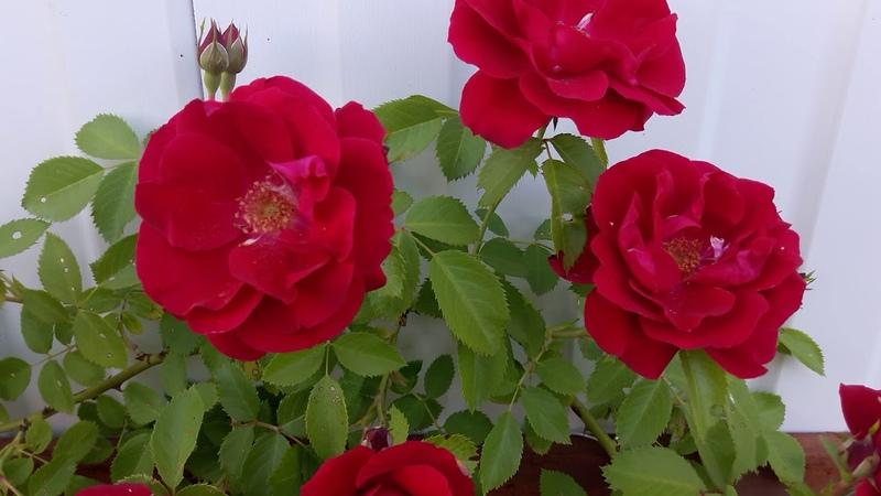 Розы осенней посадки первое цветение