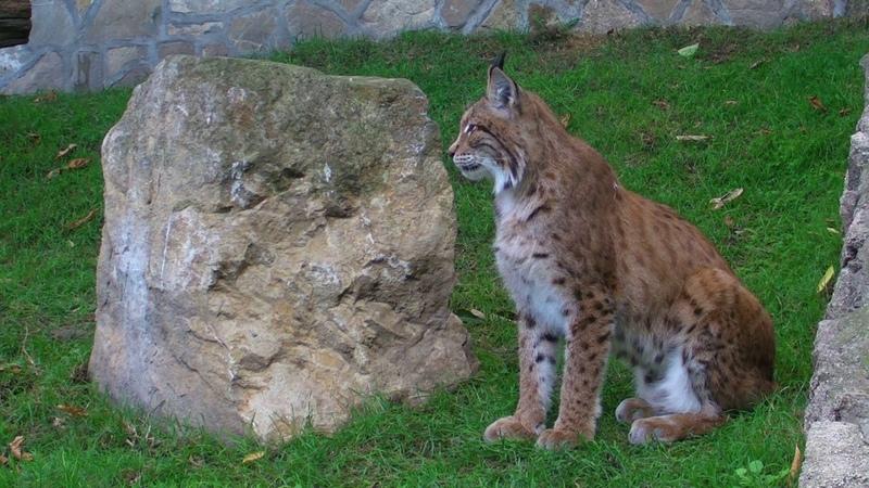 Рысь обыкновенная Lynx lynx Beo Zoo Vrt Belgrade Zoo Zoran B Rajic