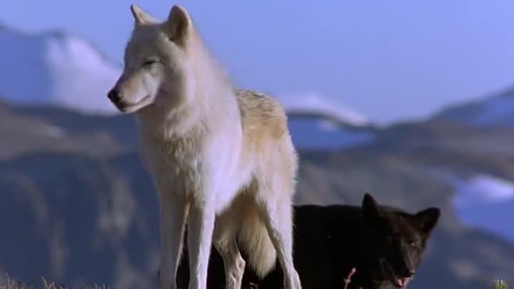 Белый клык 2: Легенда о белом волке. 1994.