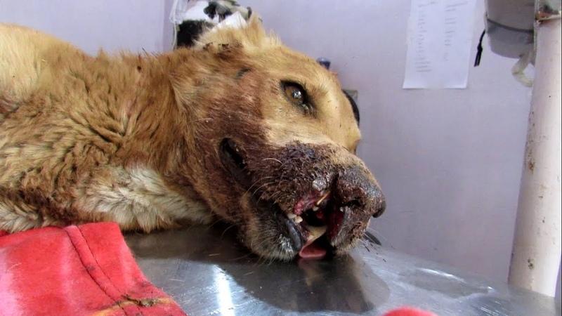 История спасения собаки, попавшей под поезд, с коллапсом лёгкого и травмой головы