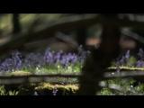 A blue forest - Brakel - East - Flanders - Belgium (Голубой лес - Бракель - Восток - КОЛОКОЛЬЧИКИ (диких гиацинтов) - Бельгия)