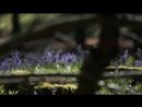 A blue forest Brakel East Flanders Belgium Голубой лес Бракель Восток КОЛОКОЛЬЧИКИ диких гиацинтов Бельгия