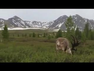 Северный олень (Reindeer). Тожу, Республика Тыва