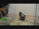 Павловские куры на выставке 24.11.18 видео 2