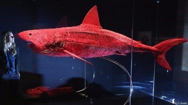 Кровеносная система акулы Из-за низкой эффективности кроветока, акулам приходится его постоянно стимулировать сокращением мышечного аппарата и движением тела. Акулы находятся в постоянном