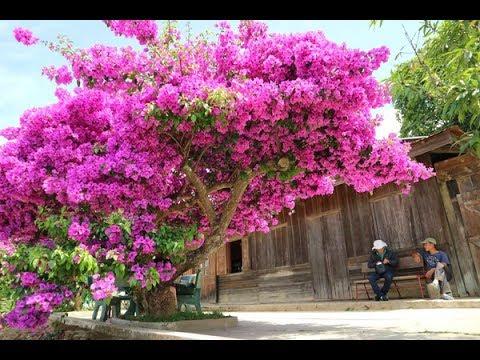 Top 5 cây Hoa giấy đắt nhất từ trước tới nay