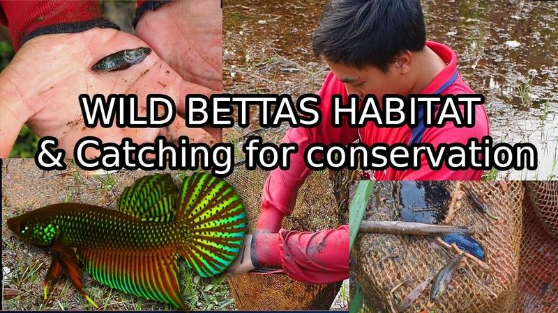 Таиланд. Бетта смарагдовая, петушок изумрудный (Betta smaragdina)