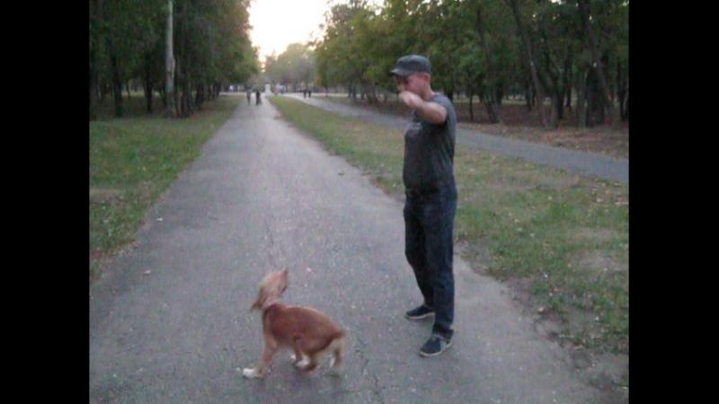 Прыгающая собака,наша девочка- пружинка Мила.
