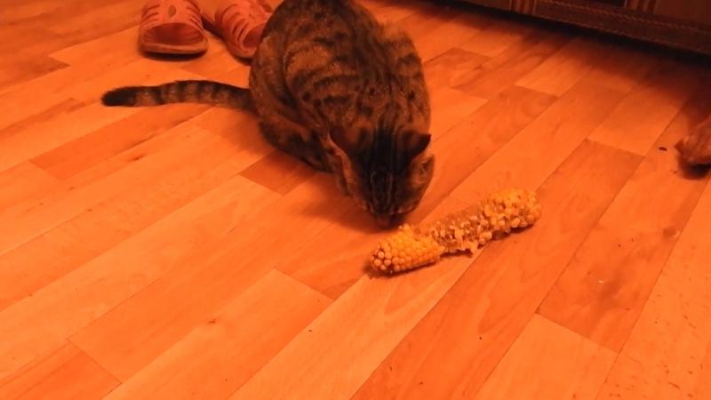 Ням, варёная кукуруза от тёти Лиды! Рыся-чудо-кошка!