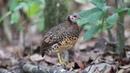 Chestnut-necklaced partridge / Каштановогорлая кустарниковая куропатка / Arborophila charltonii