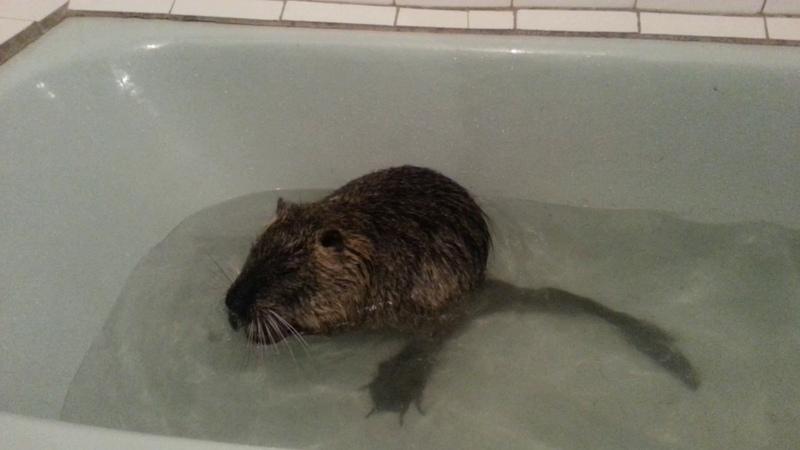 Нутриный фитнес! Нутрия купается в ванной!