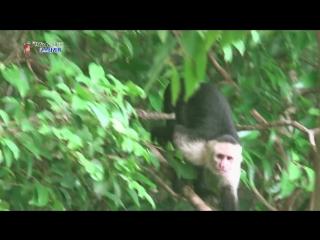 【k】costa rica travel-quepos  _manuel antonio_white-headed capuchin_monkey