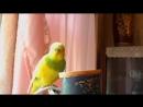 Как волнистый попугайчик научился говорить Часть 1