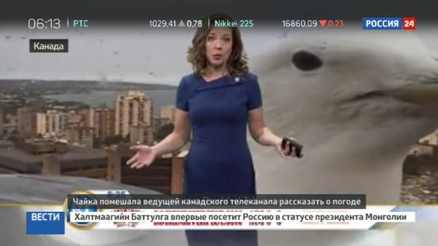 Новости на Россия 24 • Чайка вмешалась в прогноз погоды на канадском телеканале
