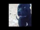 Black pitbull -🖤 Exotic Panther