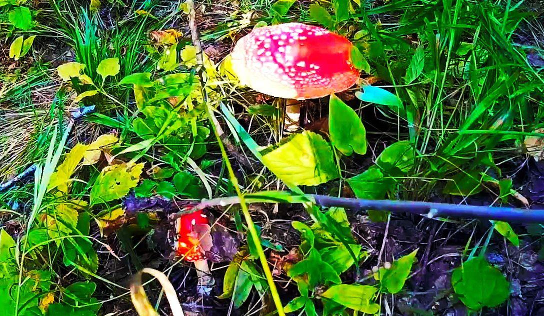 Мухомор красный использовался как опьяняющее вещество и энтеоген в Сибири и имел религиозное значение в местной культуре. Шаманы обских угров также ели мухоморы чтобы достичь транса. Мордва и марийцы считали мухоморы пищей богов и духов. Мухомор красный (лат. Amanita muscaria) — ядовитый психоактивный гриб рода Мухомор, или Аманита (лат. Amanita) порядка агариковых (лат. Agaricales), относится к базидиомицетам.Плодовое тело гриба содержит ряд токсичных соединений, некоторые из которых обладают психотропным эффектом. Содержит Мусцимол — основное психоактивное вещество. Обладает седативно-гипнотическим, диссоциативным эффектом. Amanita muscaria was used as an intoxicant and entheogen in Siberia and had a religious significance in local culture. Shamans of Ob Ugrians also ate fly agaric to reach trance. Mordva and the Mari considered the fly agaric food of the gods and spirits.