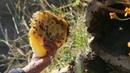 Wild Honey of Lugu Lake