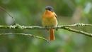Black and orange flycatcher Чёрно рыжая мухоловка Ficedula nigrorufa