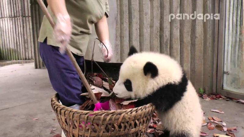 Panda cub and nanny s war