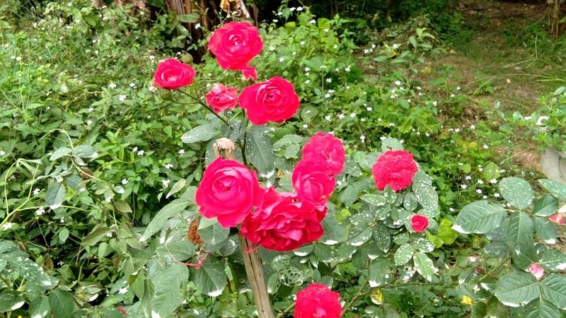 42 loài hoa hồng thơm, sai hoa, đẹp