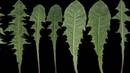 Всего один листик этой травы которая есть в любом саду может спасти Вашу жизнь