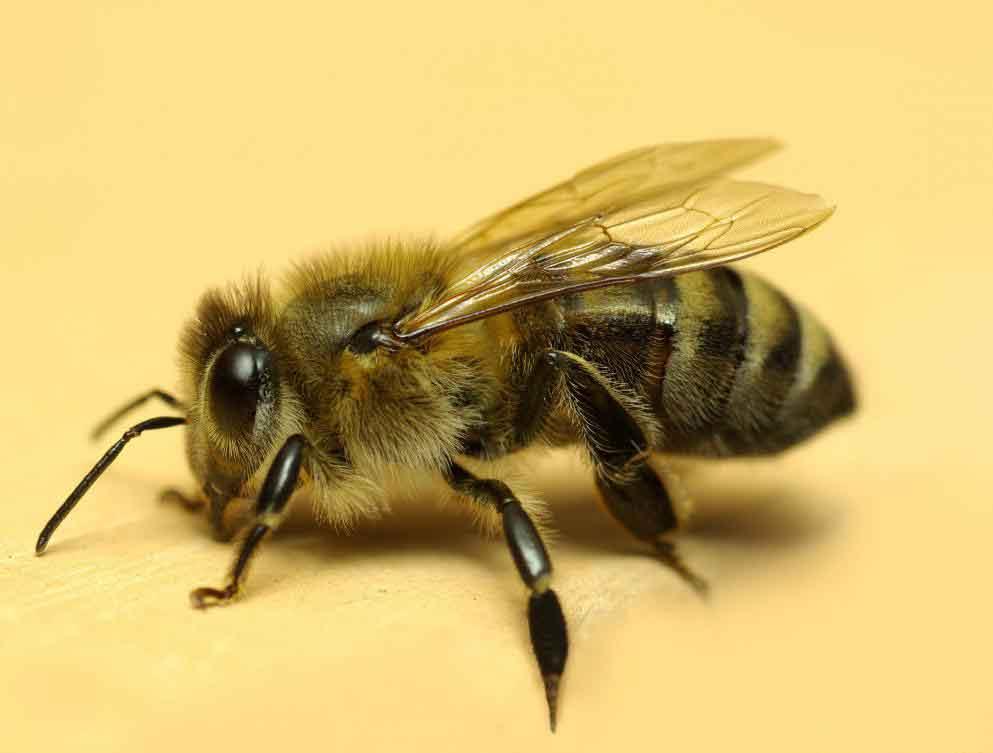 Прополис, естественно, выделяется пчелами