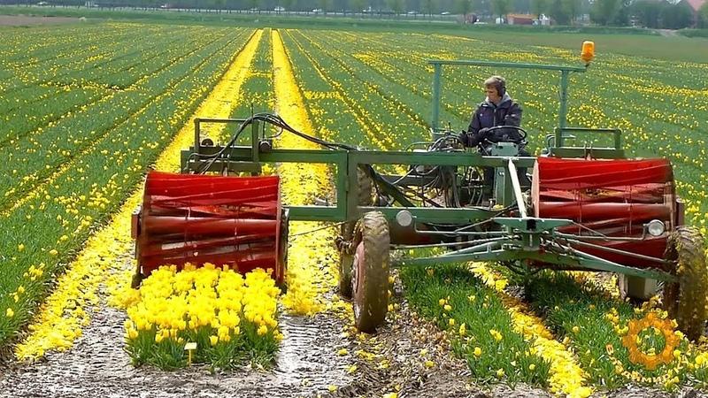 Как выращивают тюльпаны на луковицы в Голландии