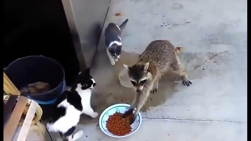 Енот украл еду у котов и убежал как человек -)
