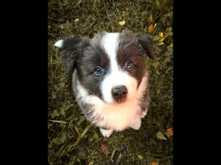 Border Collie Shouler 3 days in home