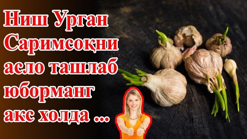 Ниш Урган Саримсоқни Есангиз Кўринг нима бўлишини