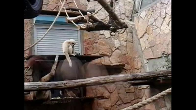 Прыгающие обезьяны в Ленинградском зоопарке