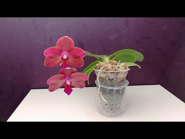 Первое цветение Phalaenopsis Mituo King Red pepper