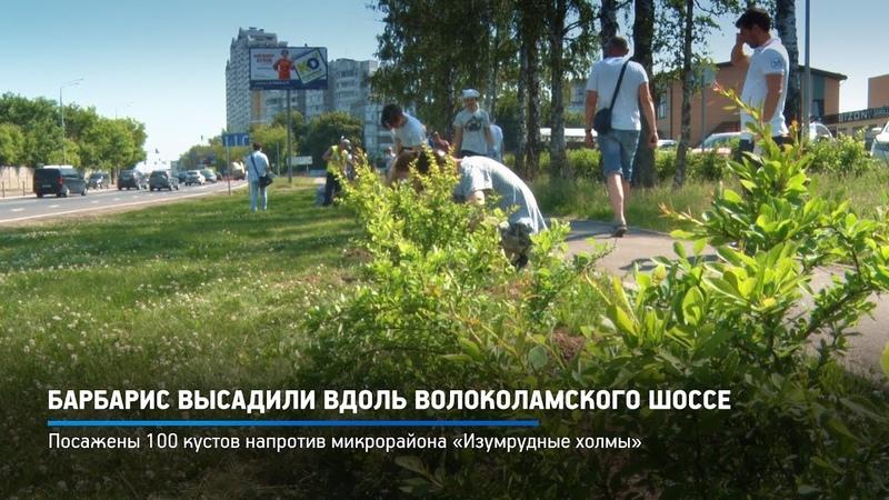 КРТВ. Барбарис высадили вдоль Волоколамского шоссе