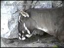 The Elusive Saola Earth's Rarest Antelope Unique Video