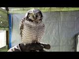 Ястребиная сова Ива и ястреб-тетеревятник Сильва. Реакция совы на ястреба