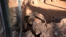 Вау вау черепаха