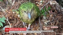 У Новій Зеландії намагаються вберегти від зникнення какапо, або совиного папугу