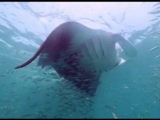 A 12ft wide oceanic manta ray comes blasting out of the blue