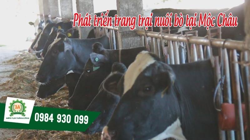 [Khomay vn] PHÁT TRIỂN TRANG TRẠI NUÔI BÒ tại Mộc Châu với Máy băm cỏ 3A