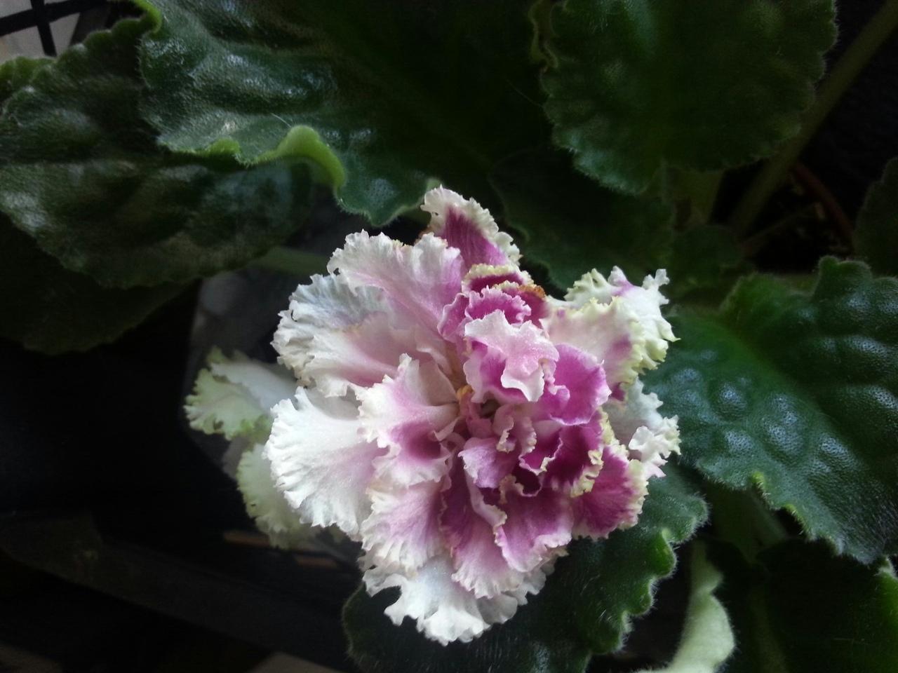 РС - Ледяная Роза (Репкина)  EmJK2i-A96s