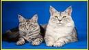 Породы кошек Мэйн кун